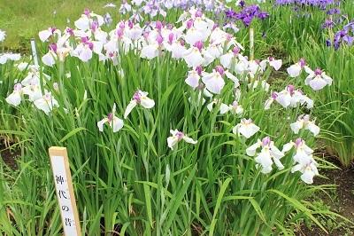 藤田記念庭園のハナショウブ_2021.06.24撮影_d0131668_18023098.jpg