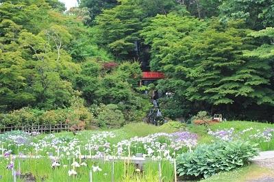 藤田記念庭園のハナショウブ_2021.06.24撮影_d0131668_18045622.jpg