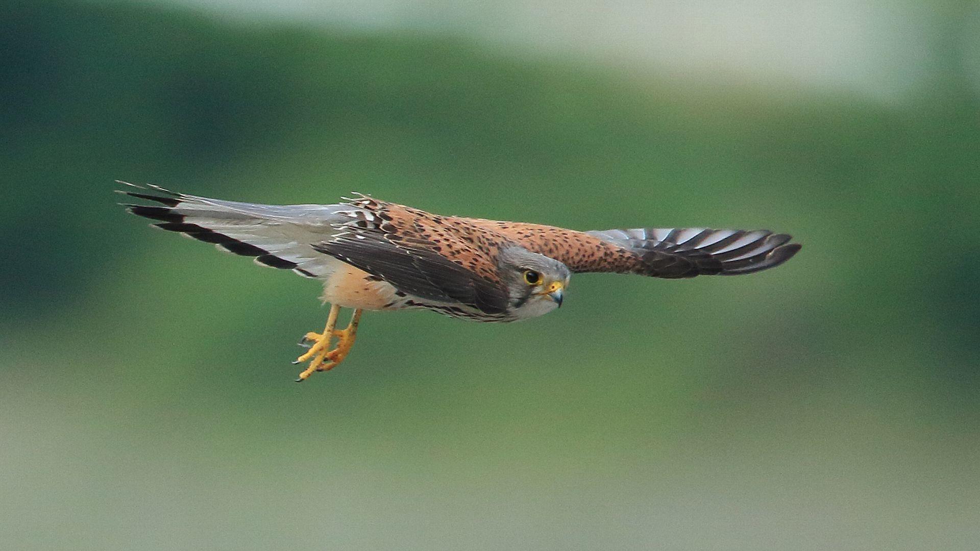 チョウゲンボウお父さんの飛翔_f0105570_21003549.jpg