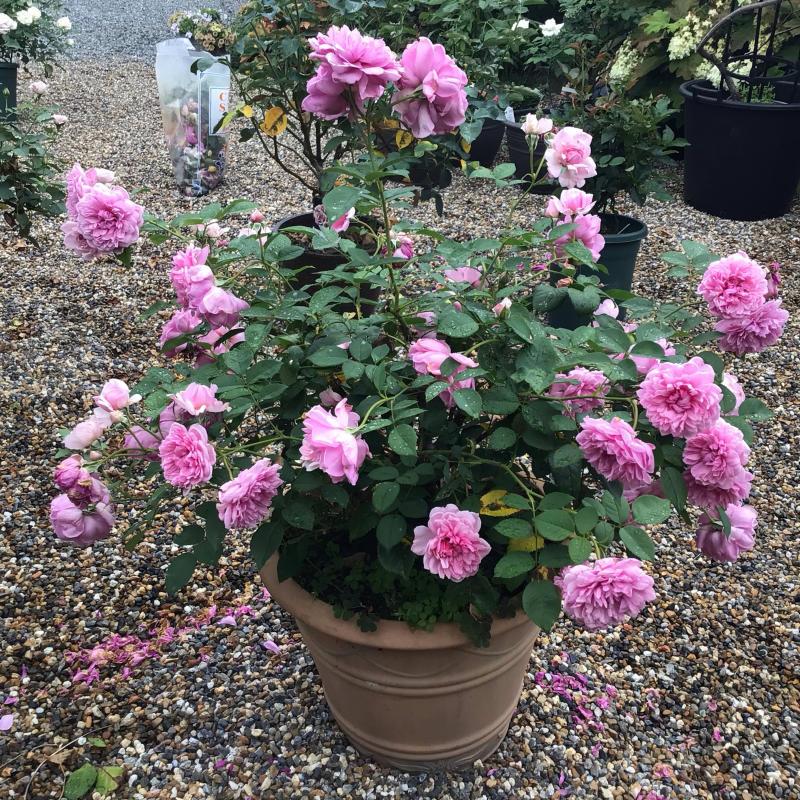 シスターエリザベスの2番花と退屈なショパンのワルツ_c0404712_20263743.jpg