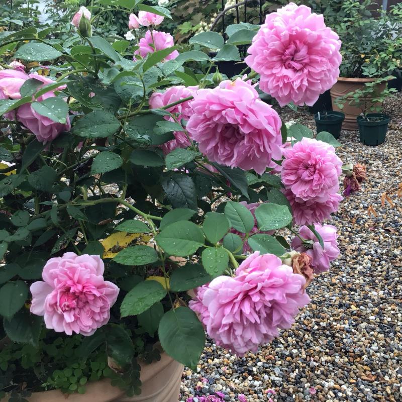 シスターエリザベスの2番花と退屈なショパンのワルツ_c0404712_20263808.jpg