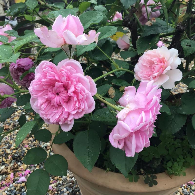 シスターエリザベスの2番花と退屈なショパンのワルツ_c0404712_20264065.jpg