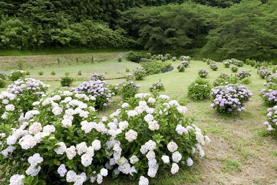 温泉歓迎のアジサイの花_b0145257_10440242.jpg