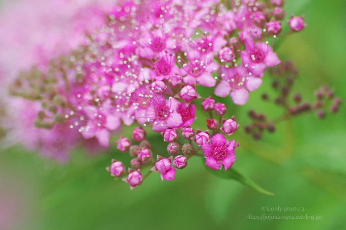 ご近所の花 -シモツケ*Ⅱ-_b0391986_16350106.jpg
