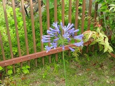 ジャカランダに負けない青色の花_f0203094_16230885.jpg