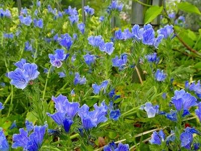 ジャカランダに負けない青色の花_f0203094_16250890.jpg