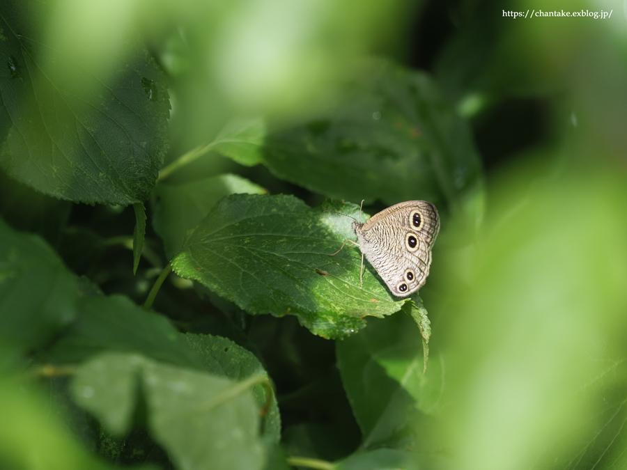 里山の蝶たち 2021_c0189013_01125408.jpg