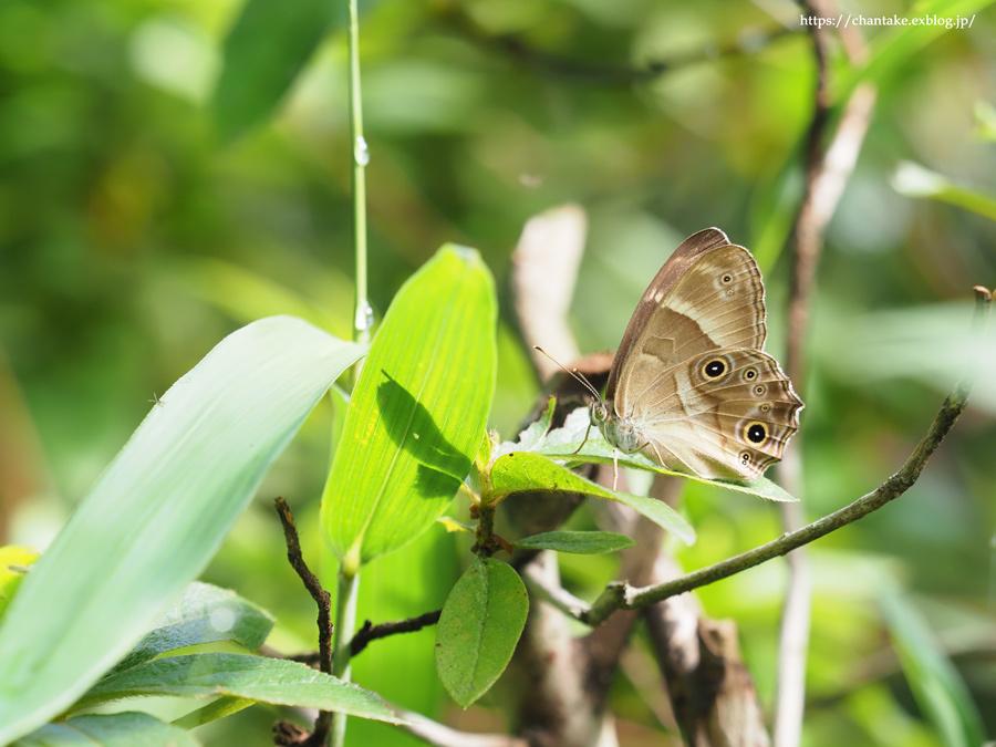 里山の蝶たち 2021_c0189013_01165684.jpg