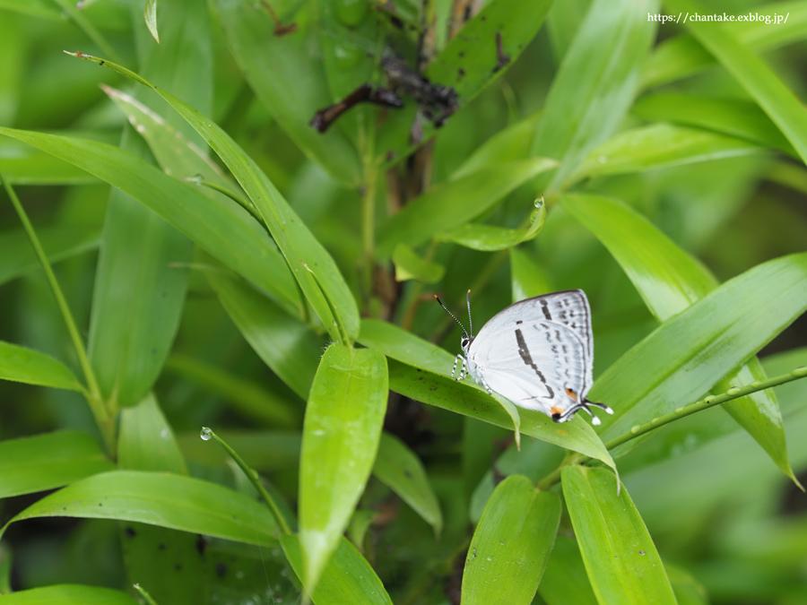 里山の蝶たち 2021_c0189013_01191339.jpg