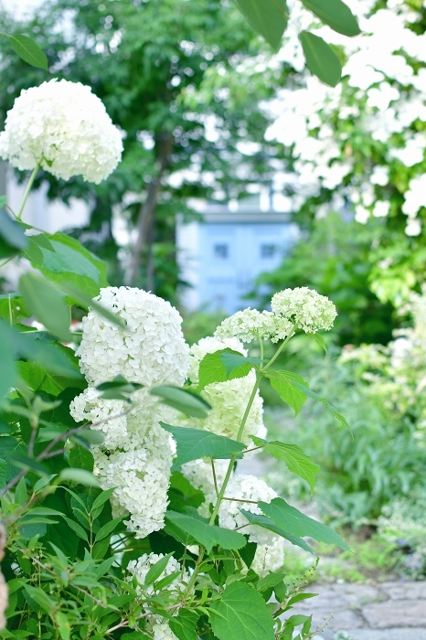 庭の紫陽花 2021 そして紫陽花の錦玉_d0025294_18541358.jpg