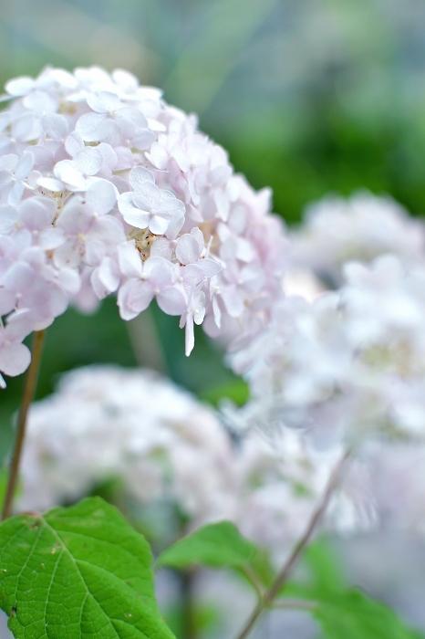 庭の紫陽花 2021 そして紫陽花の錦玉_d0025294_18544176.jpg