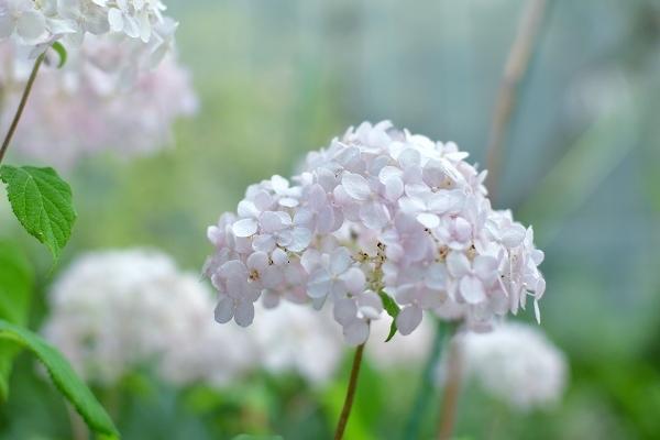 庭の紫陽花 2021 そして紫陽花の錦玉_d0025294_18545730.jpg