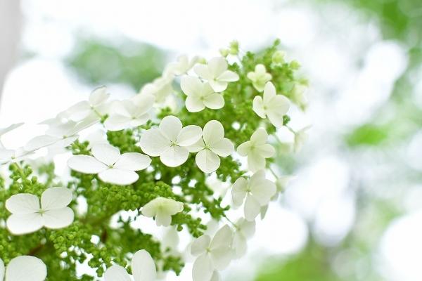 庭の紫陽花 2021 そして紫陽花の錦玉_d0025294_18551786.jpg