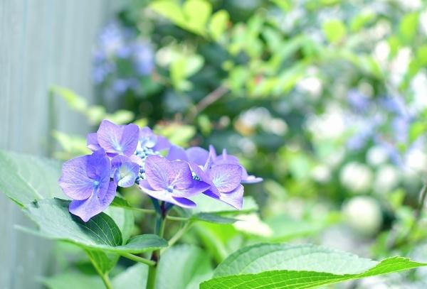 庭の紫陽花 2021 そして紫陽花の錦玉_d0025294_18553990.jpg