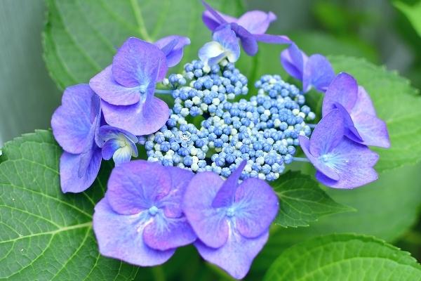 庭の紫陽花 2021 そして紫陽花の錦玉_d0025294_18555735.jpg