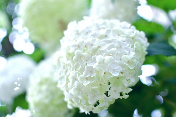庭の紫陽花 2021 そして紫陽花の錦玉_d0025294_18562551.jpg