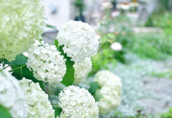 庭の紫陽花 2021 そして紫陽花の錦玉_d0025294_18564152.jpg