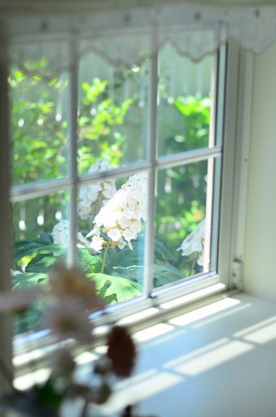 庭の紫陽花 2021 そして紫陽花の錦玉_d0025294_19540383.jpg