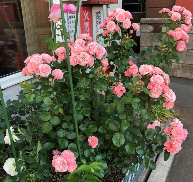薔薇満開_b0159098_16133561.jpg
