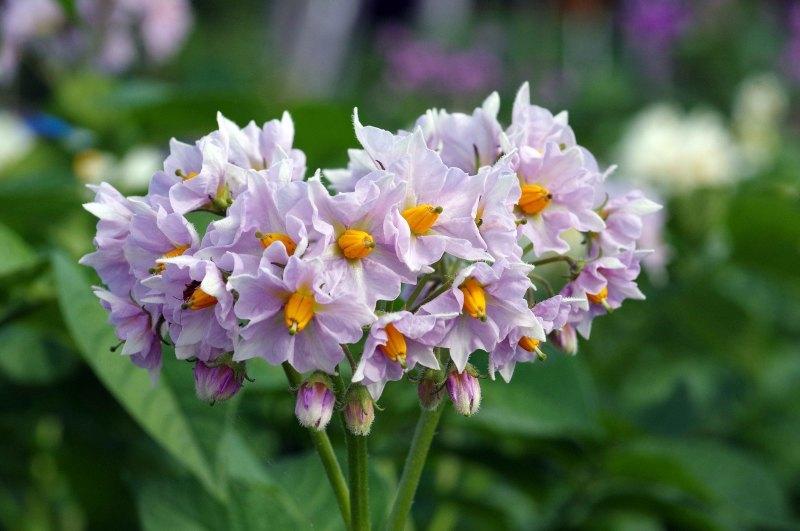 わが菜園に咲く花たち_d0244364_17150846.jpg