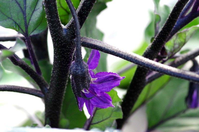 わが菜園に咲く花たち_d0244364_17152615.jpg