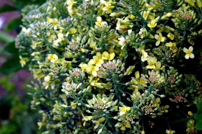 わが菜園に咲く花たち_d0244364_17281587.jpg