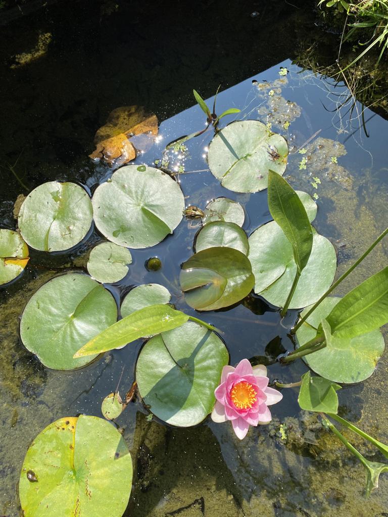 メダカ池の睡蓮の花_c0334574_16055813.jpeg