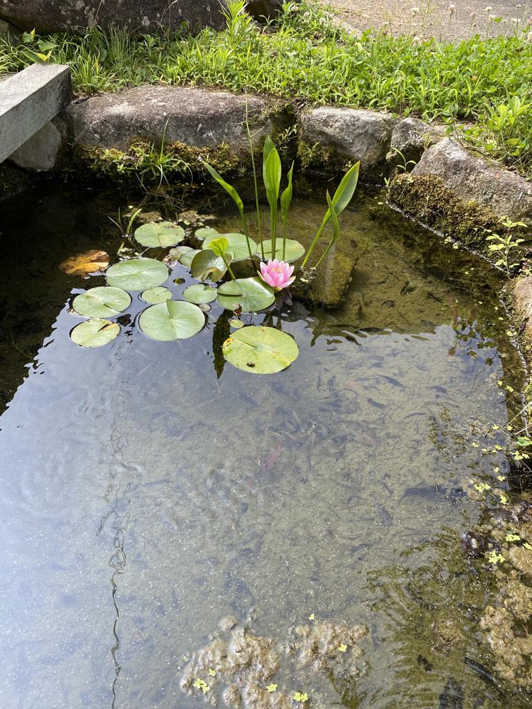 メダカ池の睡蓮の花_c0334574_16061586.jpeg