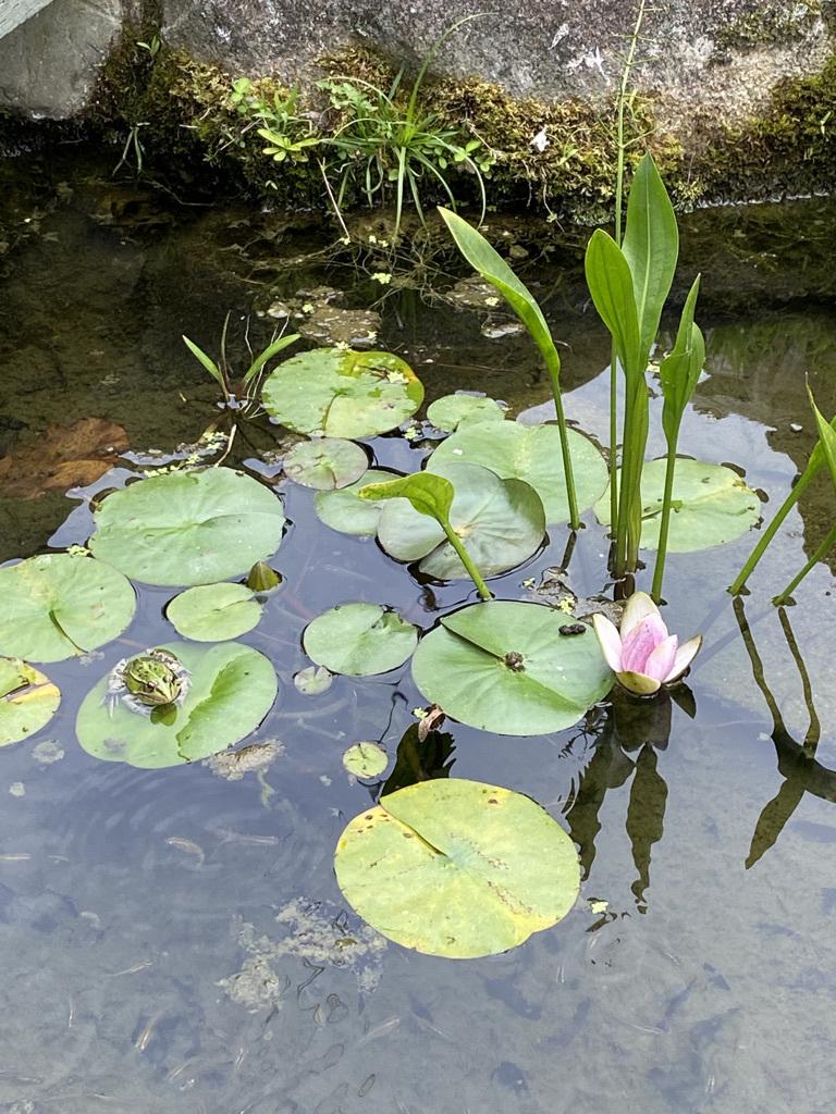 メダカ池の睡蓮の花_c0334574_16075853.jpeg