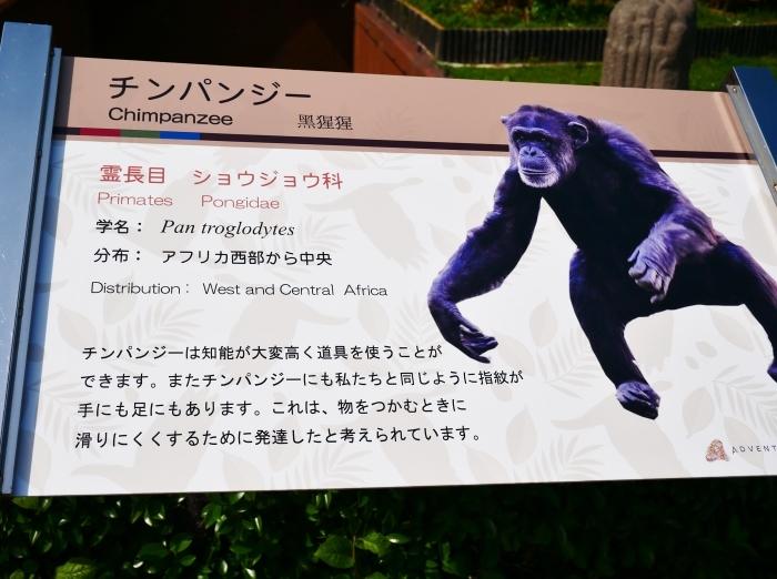 アドベンチャーワールド チンパンジー  2021-07-06 00:00_b0093754_14421932.jpg