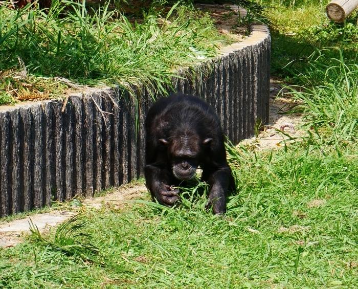 アドベンチャーワールド チンパンジー  2021-07-06 00:00_b0093754_14423247.jpg