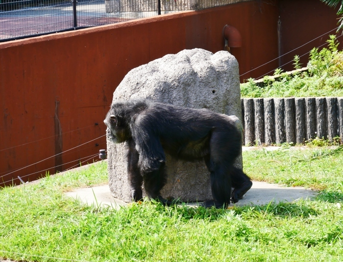 アドベンチャーワールド チンパンジー  2021-07-06 00:00_b0093754_14424549.jpg