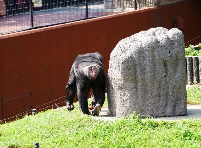 アドベンチャーワールド チンパンジー  2021-07-06 00:00_b0093754_14425932.jpg