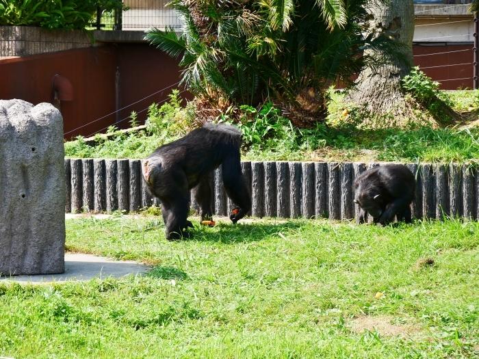 アドベンチャーワールド チンパンジー  2021-07-06 00:00_b0093754_14431164.jpg