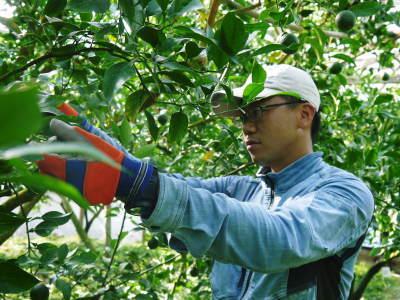 デコポン(肥後ポン) 匠の摘果作業(2021) 大きく、甘く、美しく育て上げるための匠の技 _a0254656_19480811.jpg