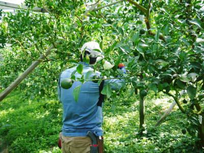 デコポン(肥後ポン) 匠の摘果作業(2021) 大きく、甘く、美しく育て上げるための匠の技 _a0254656_20085513.jpg