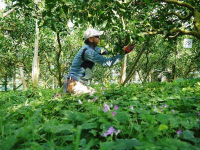 デコポン(肥後ポン) 匠の摘果作業(2021) 大きく、甘く、美しく育て上げるための匠の技 _a0254656_20113366.jpg