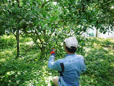デコポン(肥後ポン) 匠の摘果作業(2021) 大きく、甘く、美しく育て上げるための匠の技 _a0254656_20150657.jpg