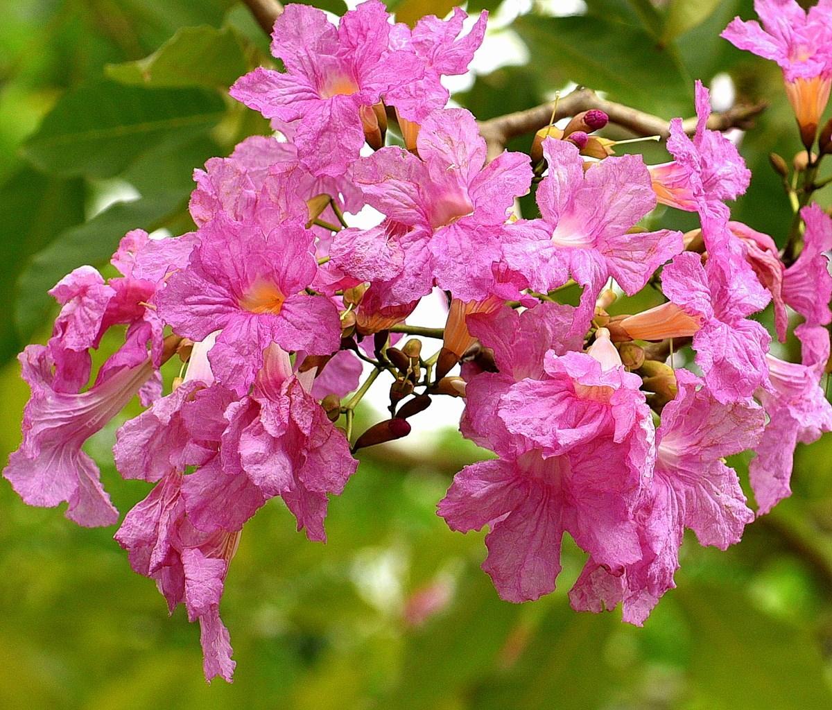 チェンマイの街や野を彩る花々とそのエピソード(第11回)_d0159325_19010956.jpg