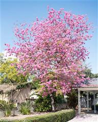 チェンマイの街や野を彩る花々とそのエピソード(第11回)_d0159325_19024006.png