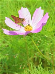 チェンマイの街や野を彩る花々とそのエピソード(第12回)_d0159325_19040656.png