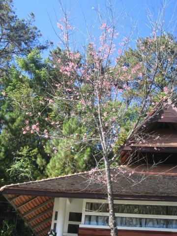 チェンマイの街や野を彩る花々とそのエピソード(第12回)_d0159325_20063169.jpg