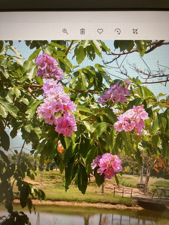 チェンマイの街や野を彩る花々とそのエピソード(第11回)_d0159325_20071654.jpg