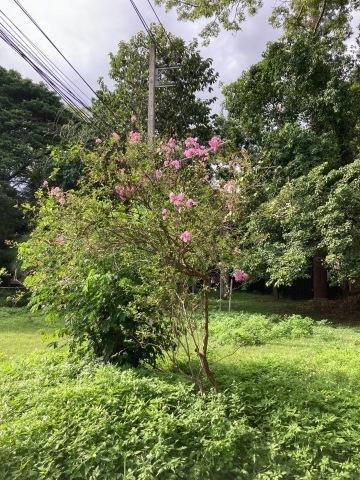 チェンマイの街や野を彩る花々とそのエピソード(第11回)_d0159325_20072019.jpg