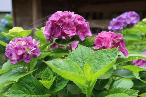 ~紫陽花が見頃、善光寺の朝 2021.7.4 (1)~_c0075701_08335227.jpg