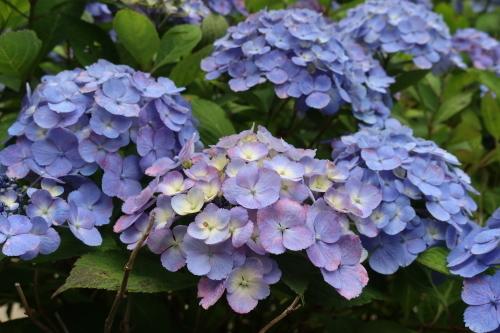 ~紫陽花が見頃、善光寺の朝 2021.7.4 (1)~_c0075701_08340160.jpg