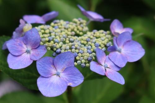 ~紫陽花が見頃、善光寺の朝 2021.7.4 (1)~_c0075701_08341242.jpg