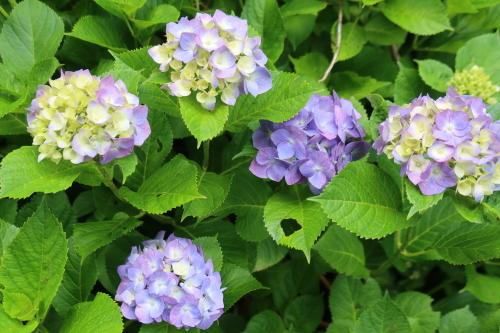 ~紫陽花が見頃、善光寺の朝 2021.7.4 (1)~_c0075701_08341735.jpg