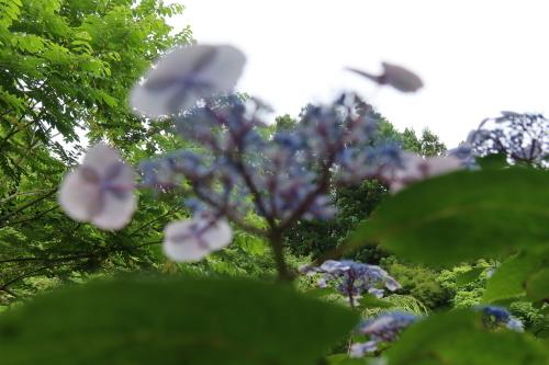 ~紫陽花が見頃、善光寺の朝 2021.7.4 (1)~_c0075701_08342969.jpg