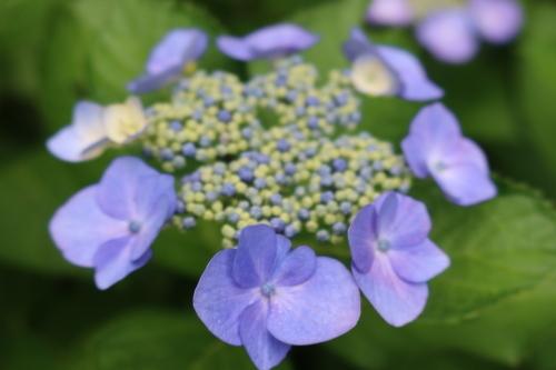 ~紫陽花が見頃、善光寺の朝 2021.7.4 (1)~_c0075701_08353619.jpg